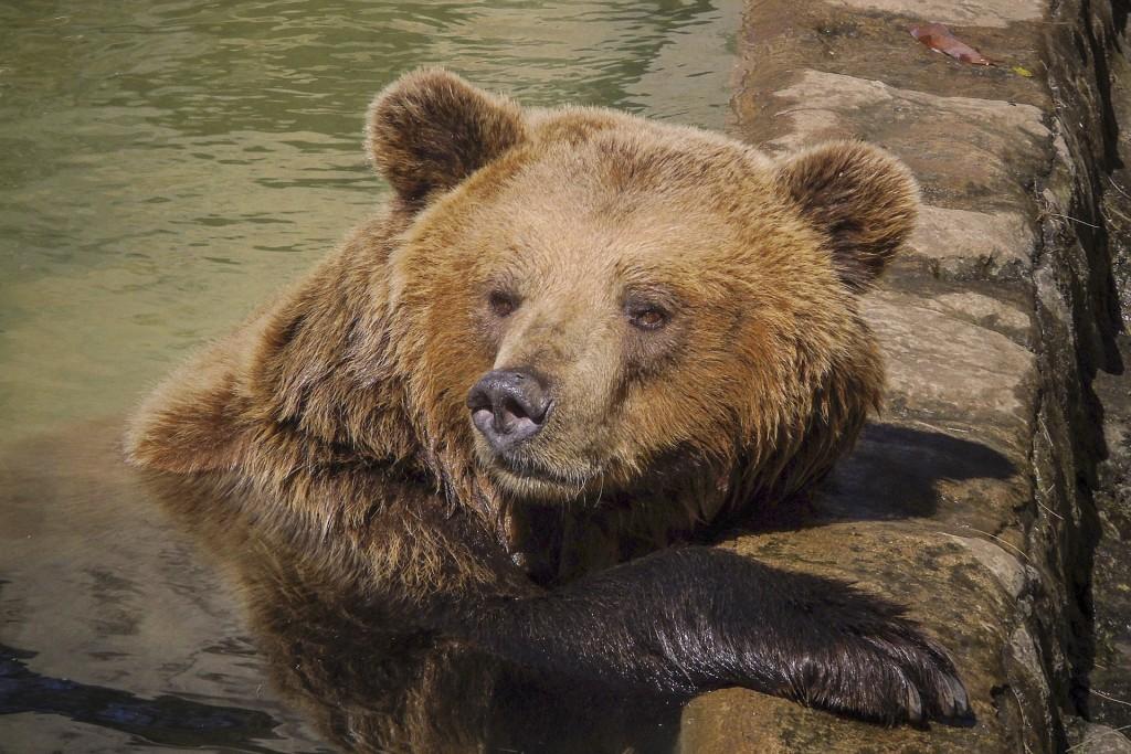 bear-822644_1920