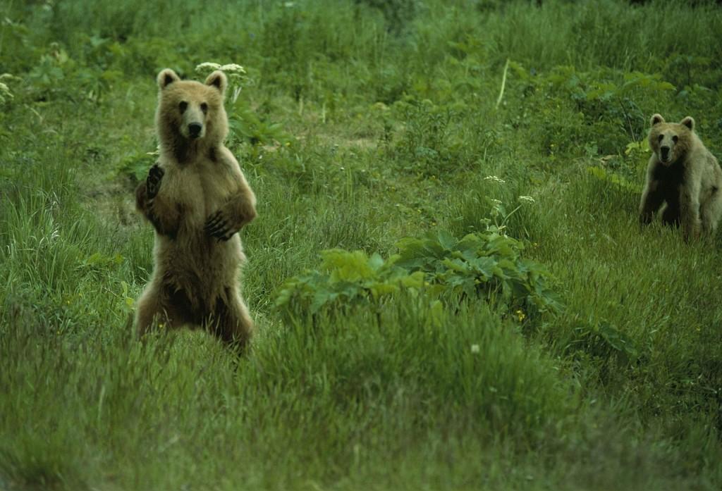 brown-bears-928807_1280